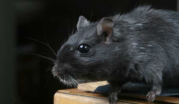 Roof Rats Mice Amp Other Rodents Hampton Roads Pest