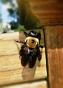 How Do You Get Rid Of Carpenter Bees Naturally