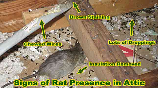 Rats in Attic Exterminator | Priority Pest Services