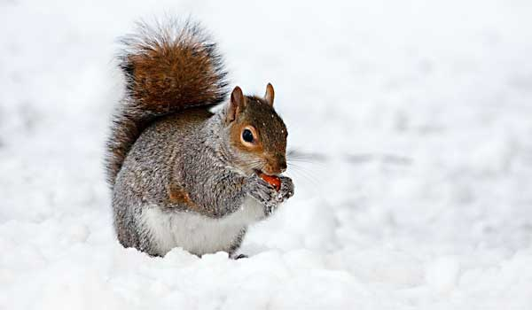 Winter Pest Control - Squirrel