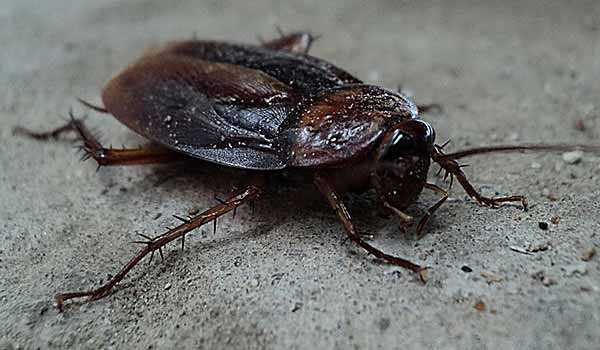 Can A Cockroach Survive Without A Head?   Pest Control & Exterminator