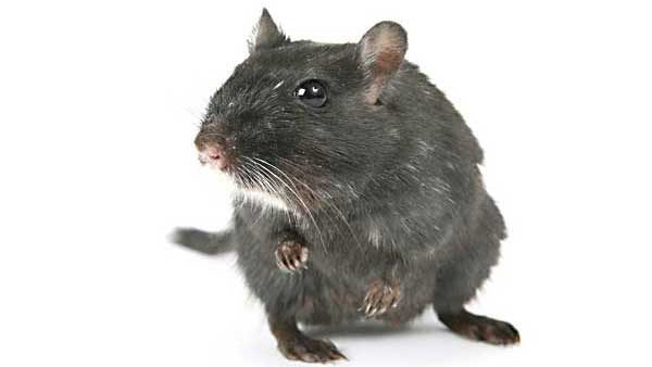 Pest Control Tip - How To Rodent Proof Your Home