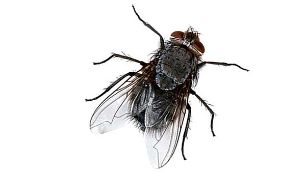 How To Get Rid Of House Flies - Pest Control