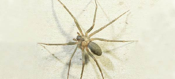 Brown Recluse Spider Exterminator