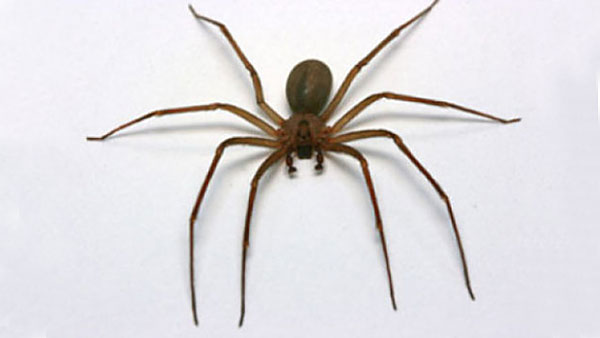 Brown Recluse Spiders Are Poisonous