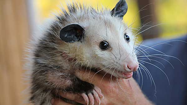 Opossums In Winter