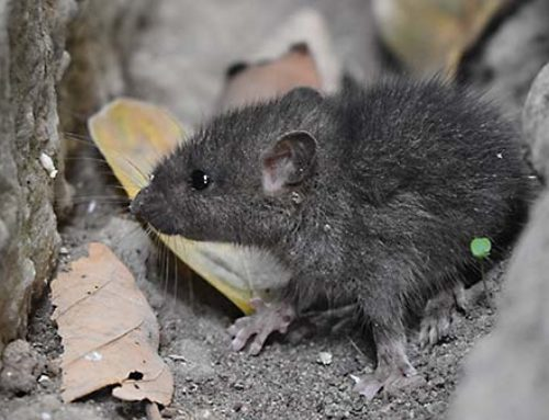 Are Mice Hiding In Your Home?