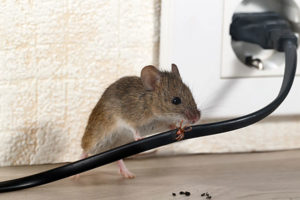 Free Home Inspection Rat Chewing Wire